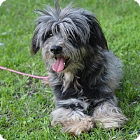 Havanese/Poodle (Miniature) Mix Dog for adoption in Vacaville, California - Moe