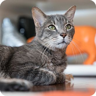 Domestic Shorthair Cat for adoption in Houston, Texas - Charles