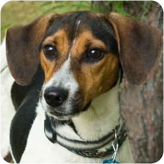 Adara | Adopted Dog | Westfield, NY | Beagle/Jack Russell ...