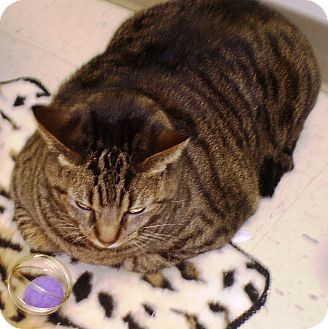 Domestic Shorthair Cat for adoption in Chesterland, Ohio - Bennie