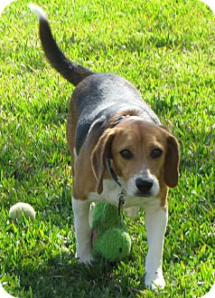 Beagle Dog for adoption in Houston, Texas - Buddy