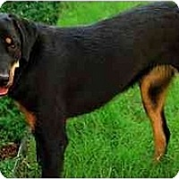 Rottweiler/Australian Shepherd Mix Dog for adoption in Norman, Oklahoma - Molly