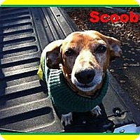 Adopt A Pet :: SCOOBY - Portland, OR