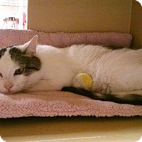 Adopt A Pet :: Dorito - Walkersville, MD