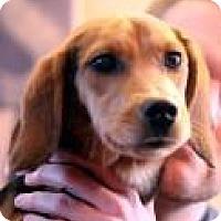 Adopt A Pet :: Tess - Minneapolis, MN