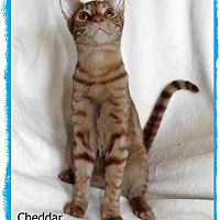 Adopt A Pet :: Cheddar - Plain City, OH