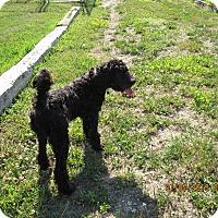 Adopt A Pet :: Lilly - Buffalo, WY