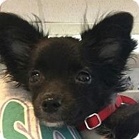 Adopt A Pet :: Kyle - Scottsdale, AZ