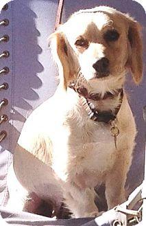 Cocker Spaniel Mix Dog for adoption in Santa Barbara, California - Crystal