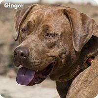Adopt A Pet :: Ginger - New Castle, DE