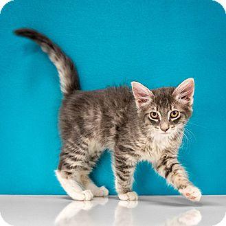 Domestic Shorthair Kitten for adoption in Chandler, Arizona - Jaime