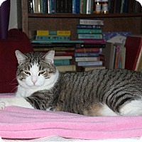 Domestic Shorthair Cat for adoption in Chandler, Arizona - Mog