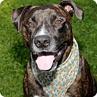 Mastiff/Pit Bull Terrier Mix Dog for adoption in Livonia, Michigan - Aden