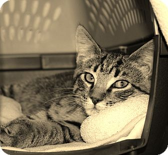 Domestic Shorthair Cat for adoption in Middleton, Wisconsin - Lester