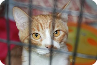 Domestic Shorthair Kitten for adoption in Covington, Louisiana - Ballerina