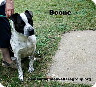 American Staffordshire Terrier/Australian Cattle Dog Mix Dog for adoption in Denison, Texas - Boone