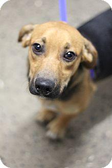 Beagle Mix Puppy for adoption in Glastonbury, Connecticut - Sage ~ meet me!