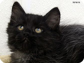 Domestic Mediumhair Kitten for adoption in Republic, Washington - Citron