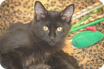 Domestic Mediumhair Kitten for adoption in San Leon, Texas - Elizabeth