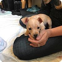 Adopt A Pet :: Flash, A French Bully-Dachshund puppy - Arlington, WA