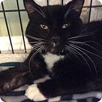 Adopt A Pet :: Boots - Breinigsville, PA
