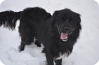 Labrador Retriever/Chow Chow Mix Dog for adoption in New Cumberland, West Virginia - Rufus