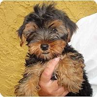 Adopt A Pet :: Jack Sparrow - Miami, FL