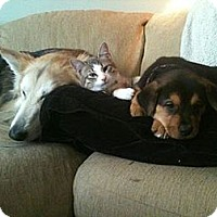 Adopt A Pet :: Koopa - Vaudreuil-Dorion, QC