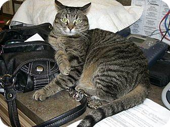 American Shorthair Cat for adoption in Jupiter, Florida - Rosie