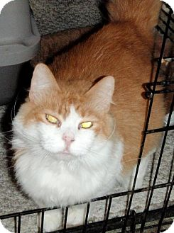 Domestic Longhair Cat for adoption in Columbus, Ohio - Molly
