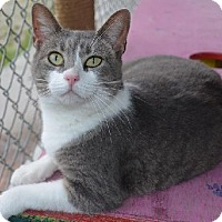 American Shorthair Cat for adoption in New Iberia, Louisiana - Maya