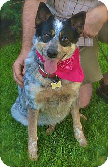 Australian Cattle Dog Dog for adoption in Los Angeles, California - Pretty Queenie-VIDEO