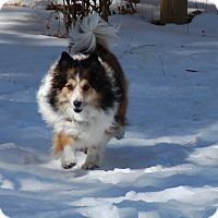 Adopt A Pet :: Bella - Pueblo West, CO