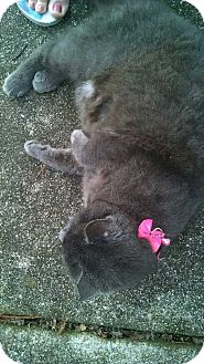 Domestic Shorthair Cat for adoption in Chesapeake, Virginia - Ms. Kitty