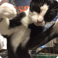 Domestic Shorthair Cat for adoption in Cliffside Park, New Jersey - PATTY