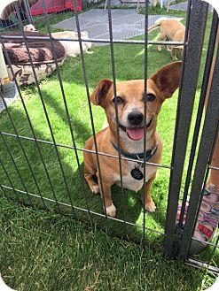 Dachshund/Terrier (Unknown Type, Medium) Mix Dog for adoption in Vacaville, California - Sammy