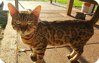 Bengal Cat for adoption in Parlier, California - Shere Khan