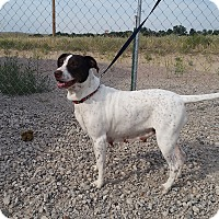 Pointer Dog for adoption in Sterling, Colorado - Molly