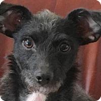 Adopt A Pet :: Ashley - Atlanta, GA
