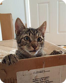 Domestic Shorthair Kitten for adoption in Smithfield, North Carolina - Abu