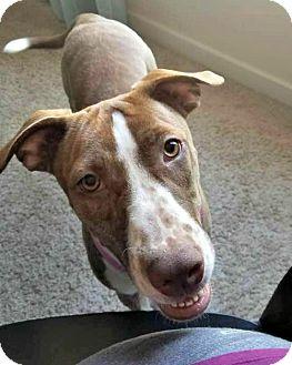 Pointer Mix Dog for adoption in McKinney, Texas - Autumn
