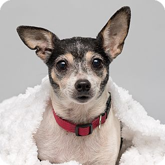 Rat Terrier/Chihuahua Mix Dog for adoption in Westfield, New York - Millie