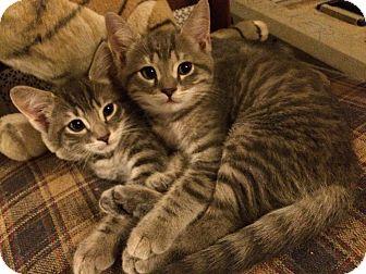 Domestic Shorthair Kitten for adoption in Washington, D.C. - Saphire