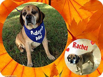 Pug Mix Dog for adoption in Buffalo, Indiana - Rachet