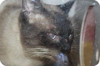 Siamese Cat for adoption in Asheville, North Carolina -