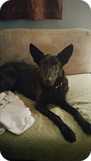 Labrador Retriever/German Shepherd Dog Mix Dog for adoption in Staunton, Virginia - Shadow