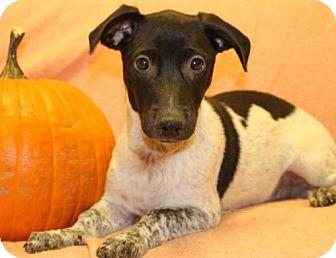 Weimaraner/Australian Cattle Dog Mix Puppy for adoption in Modesto, California - Camo
