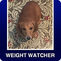 Dachshund Dog for adoption in Morrisville, Pennsylvania - Cyrus