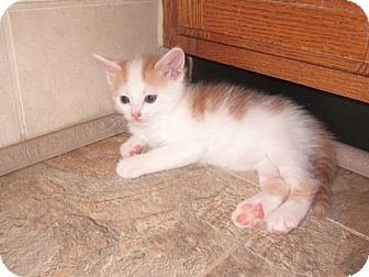 Domestic Shorthair Kitten for adoption in Youngsville, North Carolina - Freedom