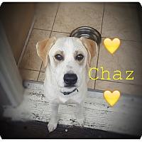 Adopt A Pet :: Chaz - Los Angeles, CA